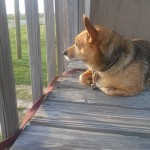 Rusty keeping an eye on rabbits, passing cars, and other suspicious things like that.