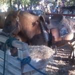 Pony + Zebra = Zony